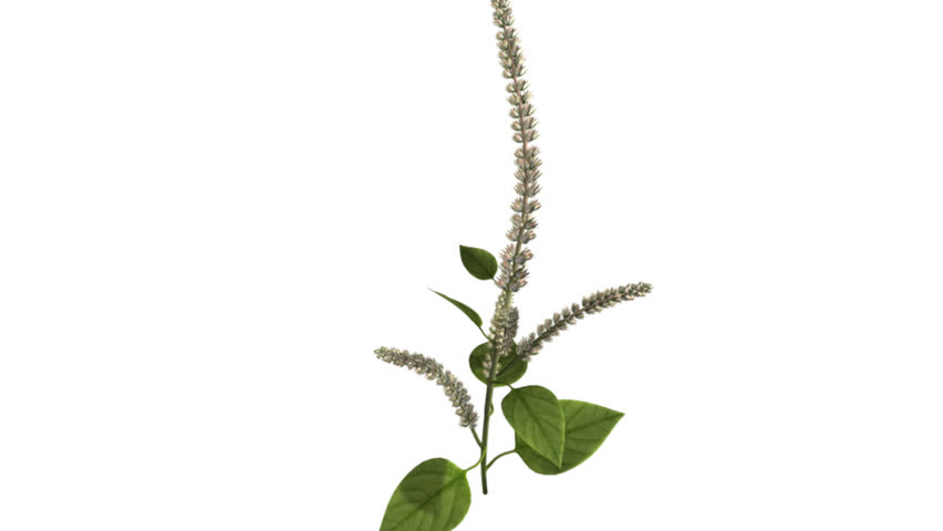 Header of Amaranthus