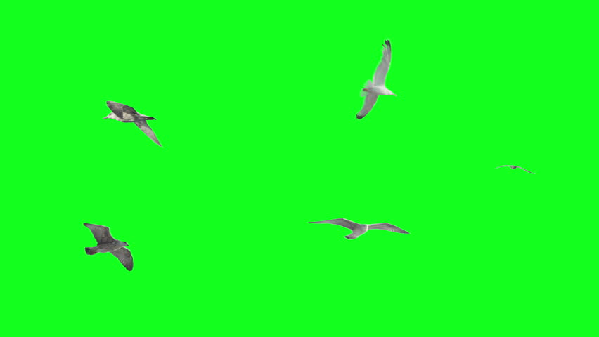 Stabilized flying birds on green screen. Ready to be animated as you wish.