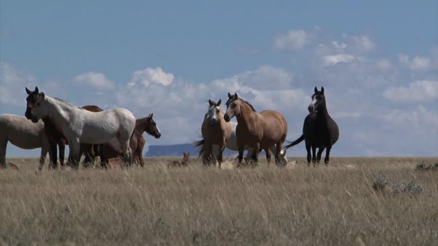 CIRCA 2010s - Wild horses graze in open rangeland in Wyoming.   Shutterstock HD Video #7113388