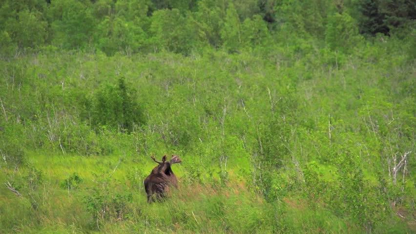 Header of Alaskan Moose