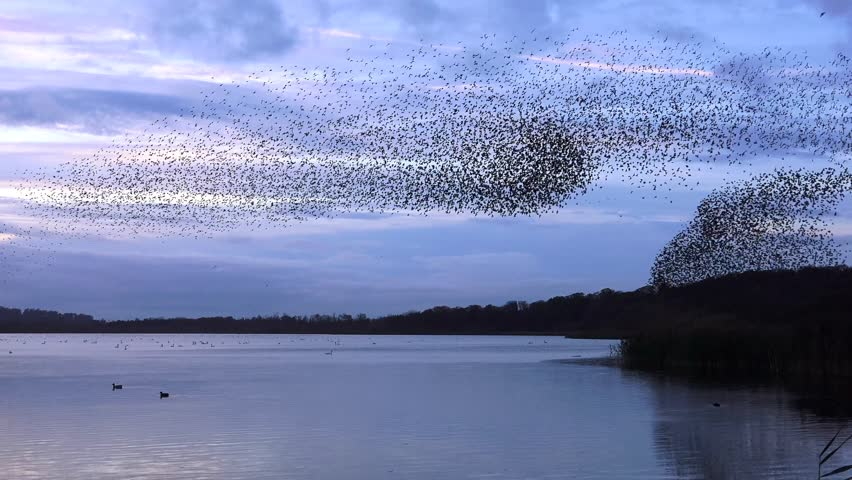 Starlings flock together on lake at sunset nature background - Aqualate Mere, Staffordshire, England: November 2014 -  02666698    Shutterstock HD Video #7803658