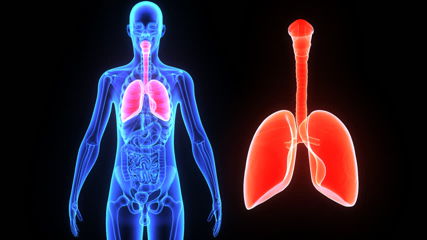 human lungs stock footage video 7833886 - shutterstock, Cephalic Vein