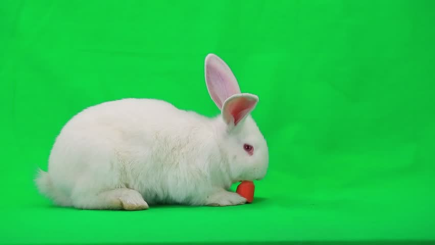 Rabbit with carrot on green screen | Shutterstock HD Video #7835293