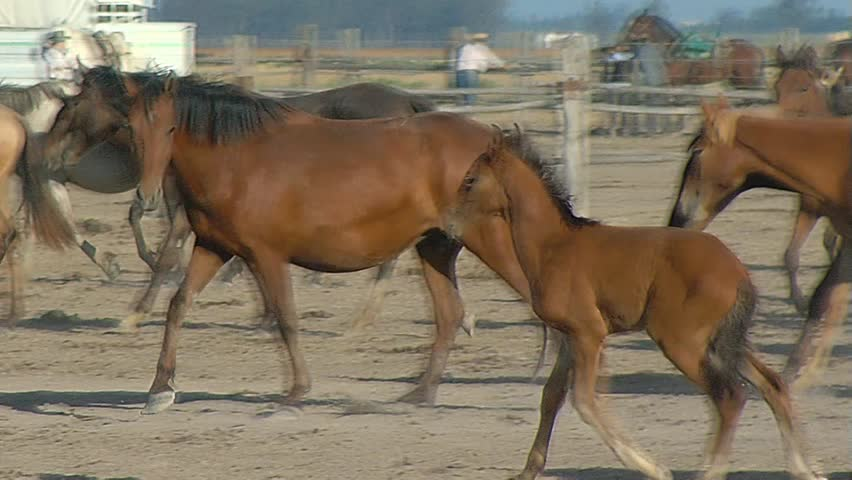 nice brown horses young and beautiful horses in a corral nice thoroughbred foals in