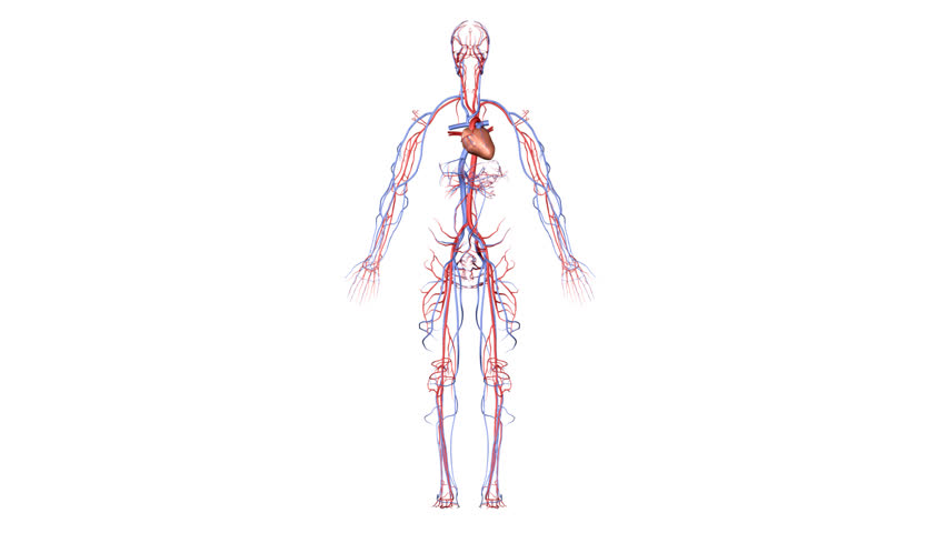 Syndaver Synthetic Human in addition Biology 28 4 Echinoderms moreover Poor Circulation Legs in addition Circulatory System likewise 1856. on vascular circulatory system