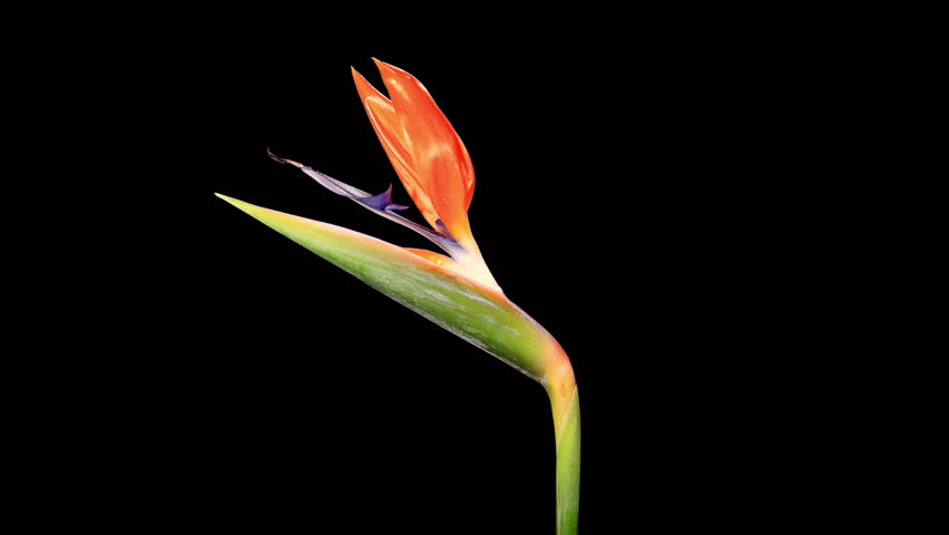 Blooming Strelitzia flower buds ALPHA matte, FULL HD. (Strelitzia reginae) (Time Lapse)    Shutterstock HD Video #7978585