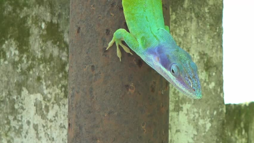 Green And Blue Wild Cuban Chameleon Or Cuban Knight Anole In A Coconut Tree Looking Quietly At ...