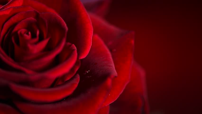 single rose hd wallpapers 1080p video