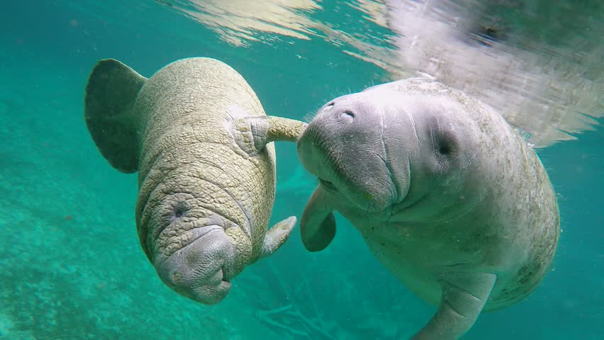 Endangered Florida Manatees (Trichechus manatus latirostris) playing in Three Sister's Springs (Crystal River, Florida, USA). Warm spring provides refuge from hypothermia in winter months.