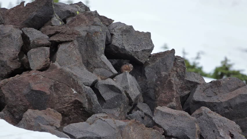 Header of American Pika