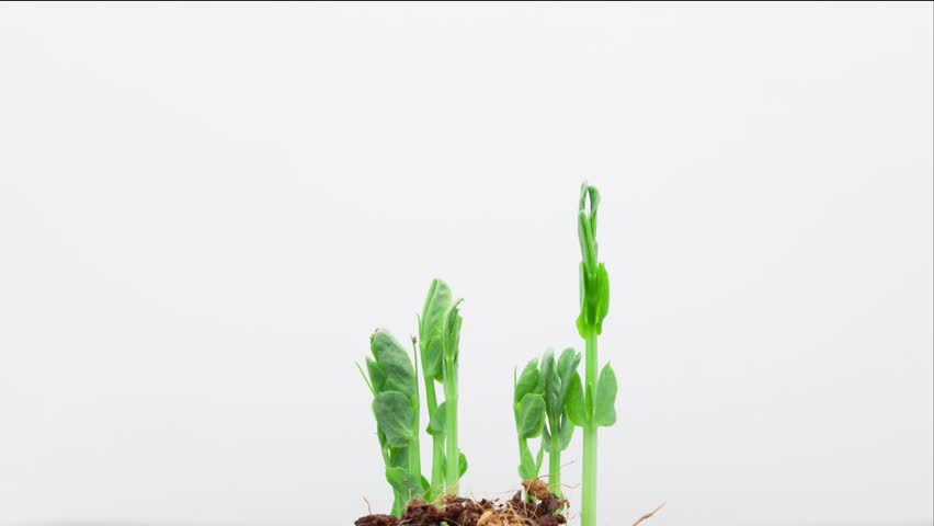 a comparison of the growth of two pea plants A cross between two pea plants that produce yellow seeds results in 124 offspring: 93 produce yellow seeds and 31 produce green seeds.