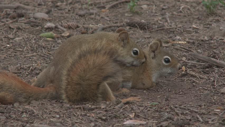 Wildlife Sex Stock Footage Video - Shutterstock-8286